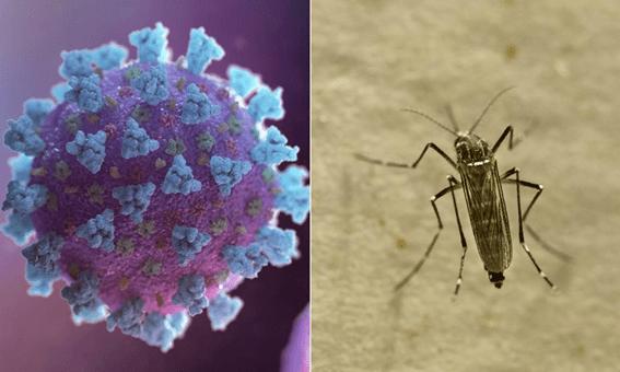 Mosquitos não podem transmitir o novo coronavírus